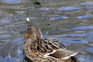 Ente mit Pfeil im Kopf