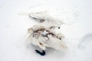 im-winter-hungersnot-verhungert-schwan