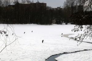 im-winter-reiher-eisdecke-see-hamburg