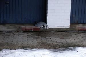 Dieser Graureiher verhungerte in einer Garageneinfahrt. Er hatte hier mit letzter Kraft noch Schutz vor der Kälte und dem starkem Wind gesucht
