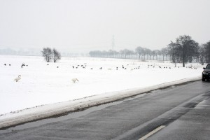 im-winter-schnee-acker-hungersnot-sterben-schwan