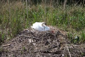 schwanenarten-hoeckerschwan-nest-brut