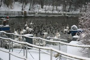 winterquartier-schnee-enten