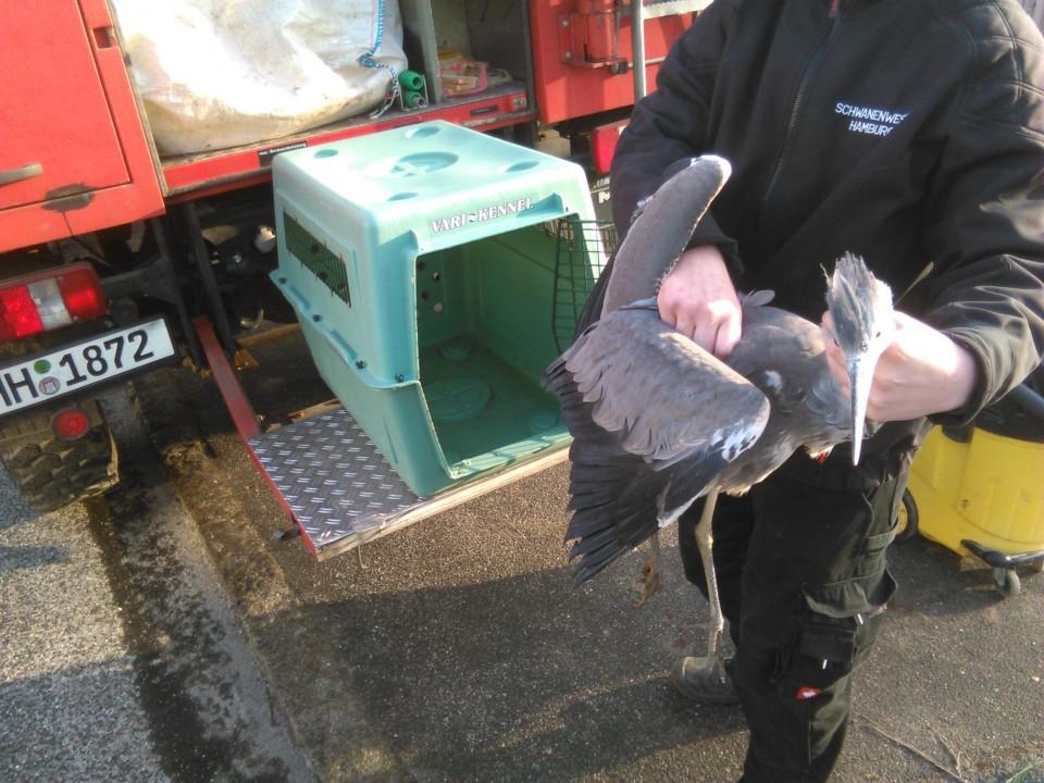 Graureiher geschwächt Wildtierrrettung Wildtiermanagementv Hamburg